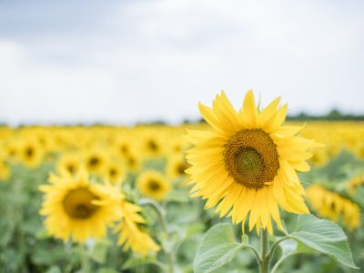 Sunflower field photography Harrogate
